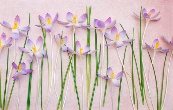 Picture leaves, background, stems, petals, crocuses, saffron