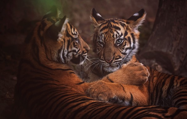 Picture look, face, nature, tiger, pose, the dark background, tree, stay, portrait, paws, pair, kittens, wild ...