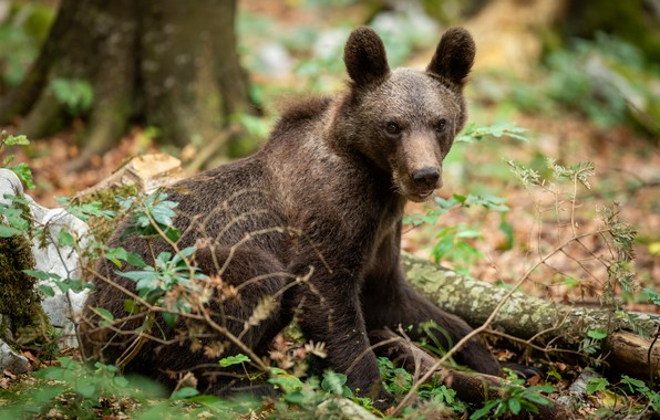 Picture forest, look, leaves, branches, nature, pose, bear, bear, bear, sitting, young, brown