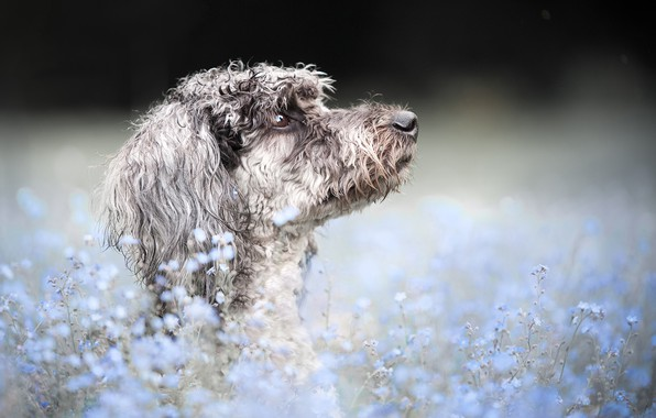 Picture face, flowers, background, portrait, dog, profile, bokeh, forget-me-nots, Poodle