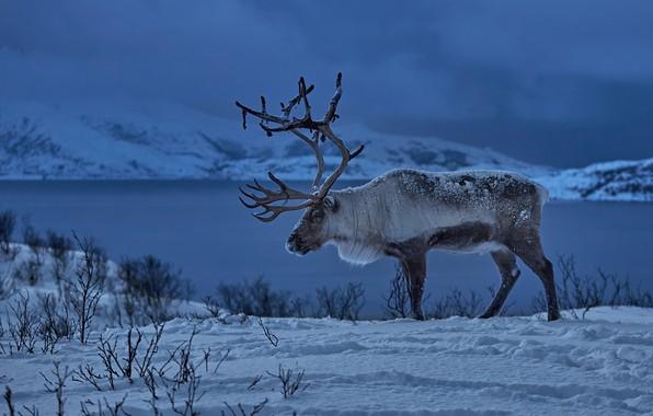 Picture winter, snow, deer, Norway, horns, Reindeer