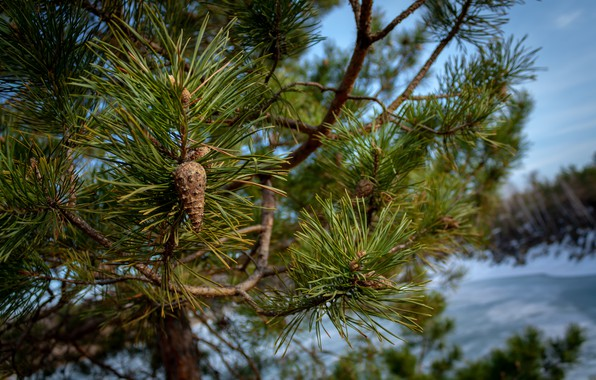Picture needles, branches, tree, spring, bumps, pine