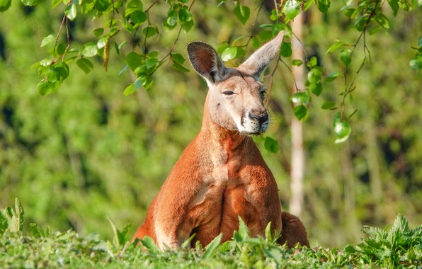 Picture greens, grass, branches, nature, relax, glade, foliage, spring, meditation, kangaroo, sitting, Zen