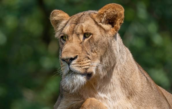 Picture look, face, portrait, beard, lioness, green background, bokeh