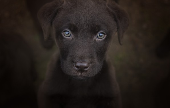 Picture look, background, portrait, puppy, face, doggie, Labrador Retriever