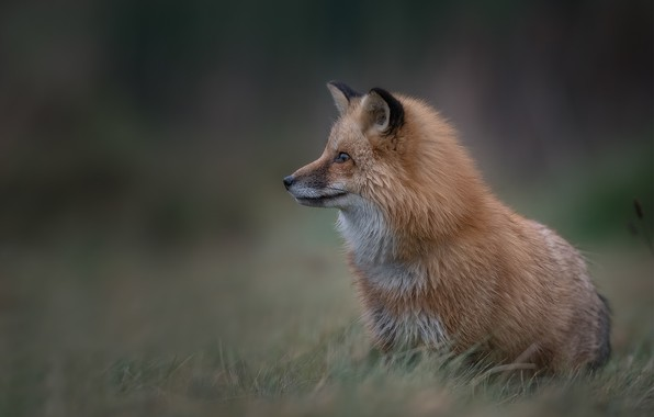 Picture grass, background, Fox, red