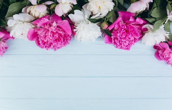 Picture flowers, petals, peonies