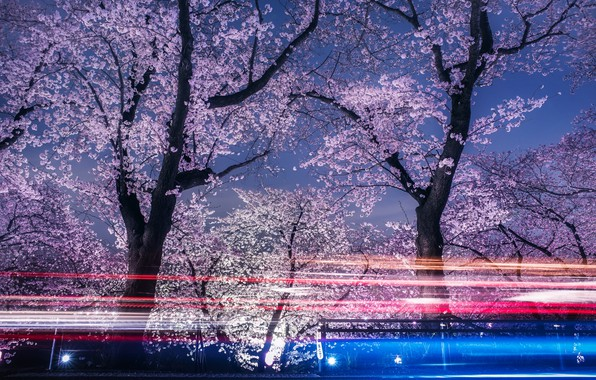 Picture light, flowers, night, spring, the evening, excerpt, Sakura