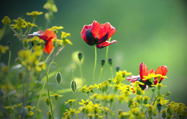 Picture blurred background, red poppies, yellow flowers