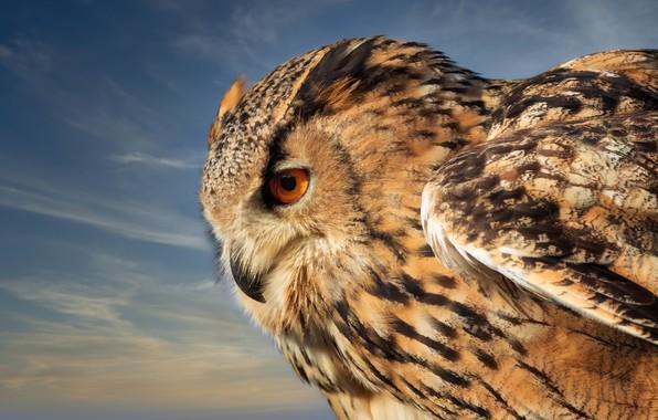 Picture the sky, owl, bird, Owl