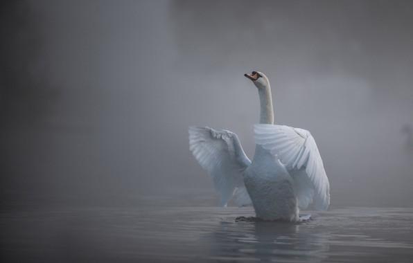 Picture water, fog, bird, wings, Swan, neck
