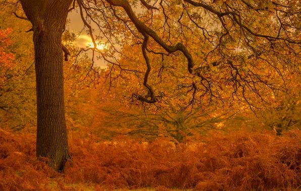 Picture autumn, trees, Park, England, London, fern, oak, London, England, Richmond Park, Richmond Park, London Borough …