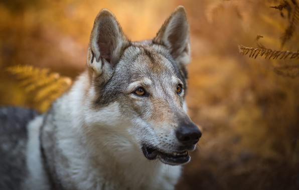 Picture autumn, look, face, leaves, nature, background, wolf, portrait, dog, fern, handsome, dog, bokeh, wolf, wolf …