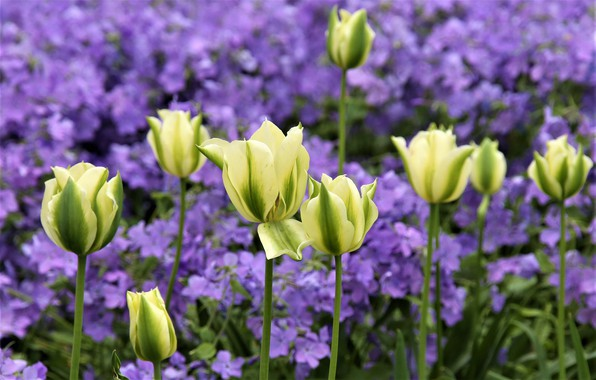 Picture blur, tulips, buds
