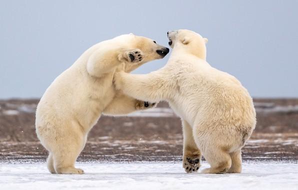 Picture Alaska, Polar bears, sparing, two bears, Polar bears