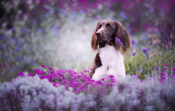 Picture summer, look, face, flowers, nature, pose, background, mood, glade, portrait, beauty, dog, garden, pink, sitting, …