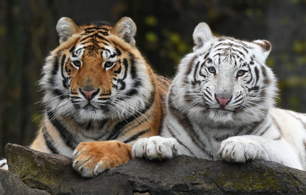 Picture white, look, tiger, the dark background, portrait, pair, tigers, Duo, two, muzzle, lie, two tigers