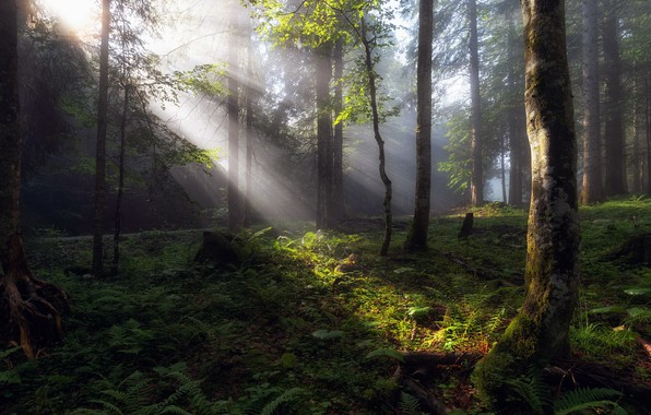 Picture forest, summer, light, morning