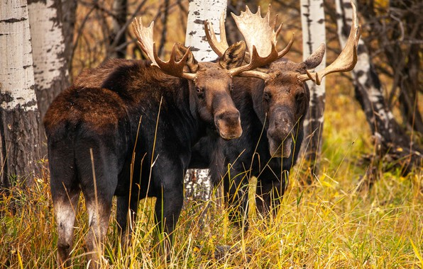 Picture autumn, forest, grass, look, face, trees, pair, two, moose, moose, two elk