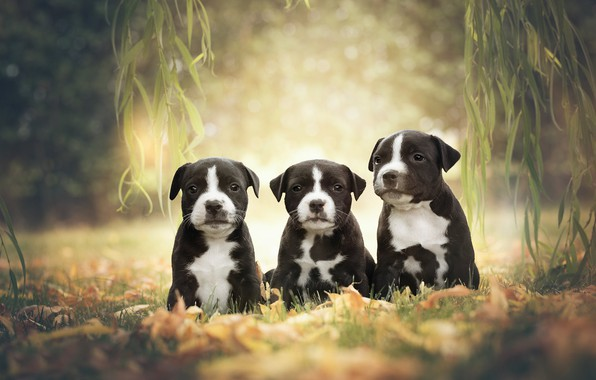 Picture dogs, branches, puppies, trio, Trinity, American Staffordshire Terrier