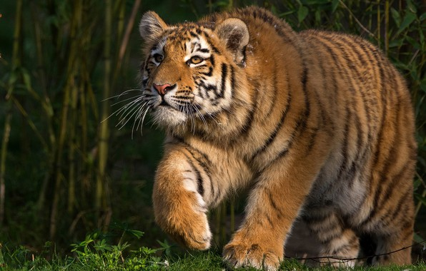 Picture grass, look, face, leaves, light, nature, tiger, pose, thickets, paws, walk, wild cat, green background, ...