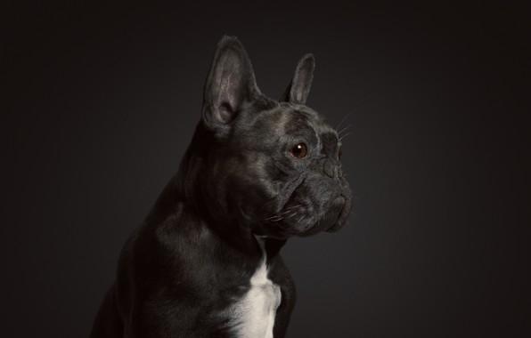 Picture rendering, dog, art, Oscar the French Bulldog, Johan Leuf