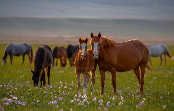 Picture flowers, horses, horse, meadow, foal, Alexander Makeev