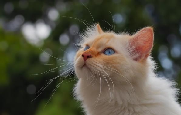 Picture cat, portrait, muzzle, blue eyes, bokeh, cat