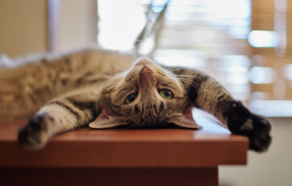 Picture cat, cat, relax, paws, muzzle, kitty, chill, cat
