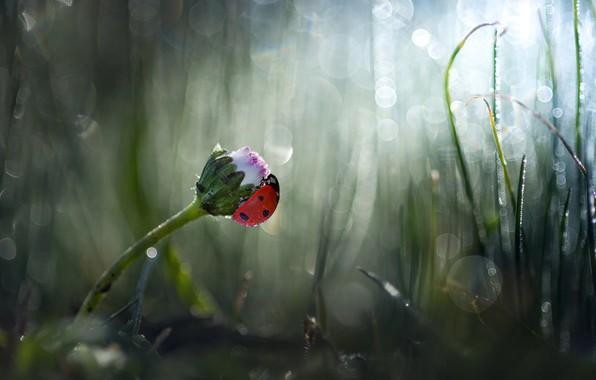 Picture flower, grass, nature, ladybug, beetle, Bud, bokeh, Daisy, Roberto Aldrovandi