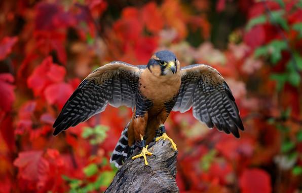 Picture background, bird, wings, Aplomado Falcon, South Mexican Falcon