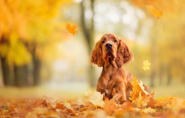 Wallpaper sadness autumn look face park foliage dog - Free cocker spaniel screensavers ...