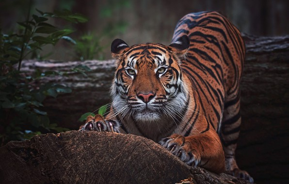 Picture look, face, leaves, nature, tiger, pose, the dark background, tree, paws, bending, claws, log, wild …