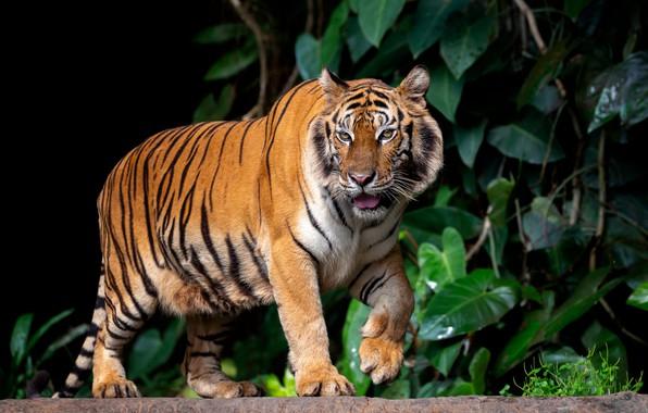 Picture leaves, nature, tiger, animal, predator
