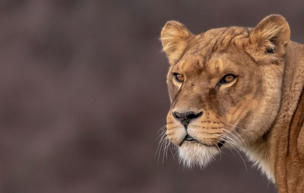 Picture look, face, background, portrait, lioness, wild cat