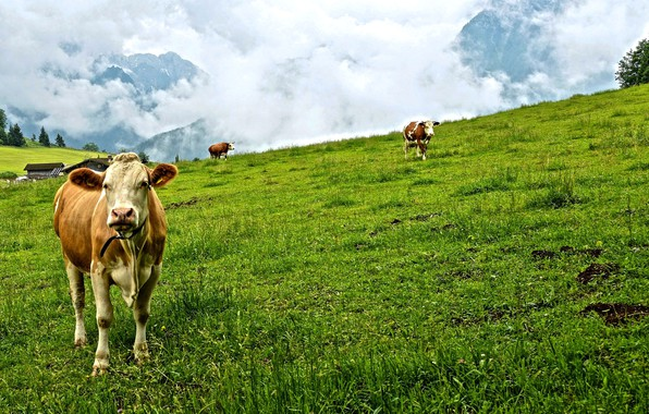 Picture greens, forest, grass, clouds, trees, mountains, cows, meadow, house
