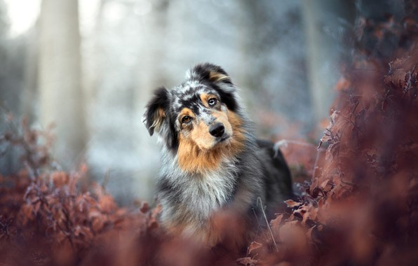 Picture autumn, forest, look, leaves, branches, nature, Park, background, foliage, portrait, dog, the bushes, bokeh, motley, …