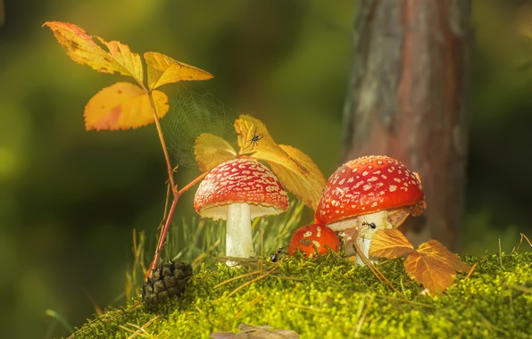 Picture autumn, leaves, macro, nature, mushrooms, moss, web, ants, Amanita, bump, spider, Vlad Vladilenoff