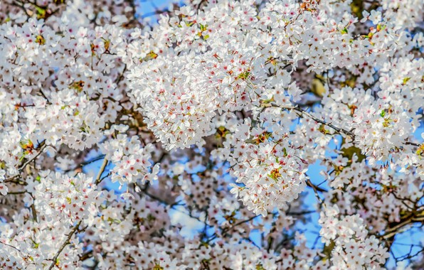 Picture the sky, branches, cherry, tree, spring, flowering, sky, blossom, cherry, branch, bloom
