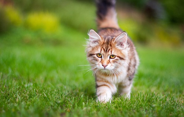 Picture grass, kitty, Siberian cat