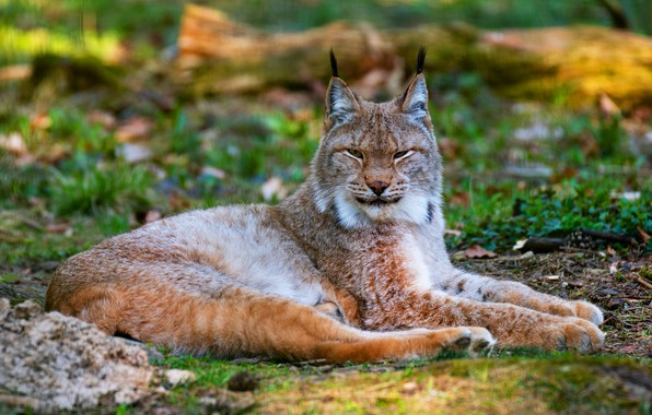 Picture cat, grass, look, face, nature, background, paws, lies, lynx, wild cat, blurred, narrowed