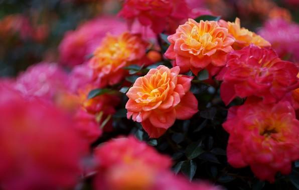 Picture flowers, bright, rose, roses, branch, garden, red, orange, a lot, bokeh, rose Bush