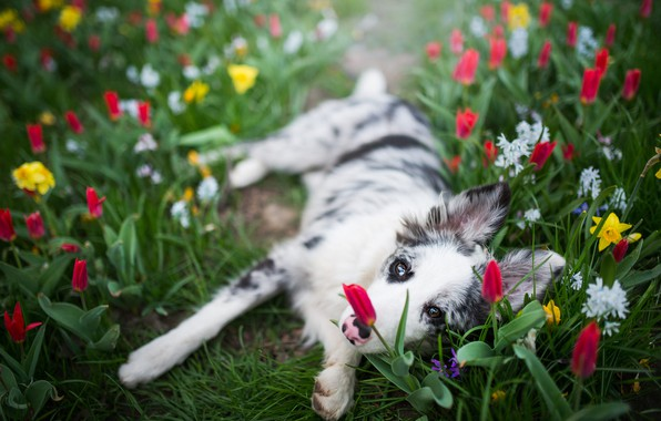 Picture white, look, face, flowers, pose, glade, dog, spring, paws, yellow, garden, tulips, puppy, red, lies, …