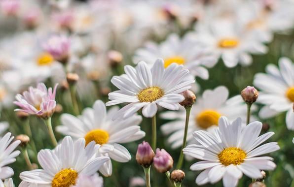 Picture chamomile, petals, blur, buds