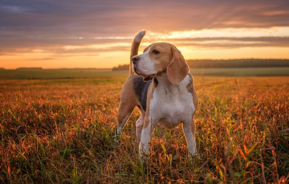 Picture field, sunset, dog, Beagle
