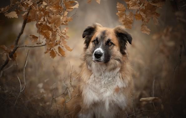 Picture autumn, look, face, leaves, branches, portrait, dog, bokeh, Unto, The Atlas mountain dog