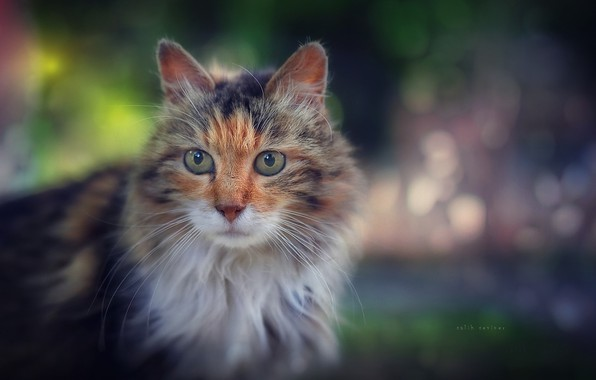 Picture cat, cat, look, fluffy, muzzle, bokeh, cat