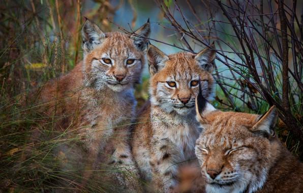 Picture animals, grass, look, face, branches, nature, children, pose, background, Bush, portrait, three, kids, lynx, a …