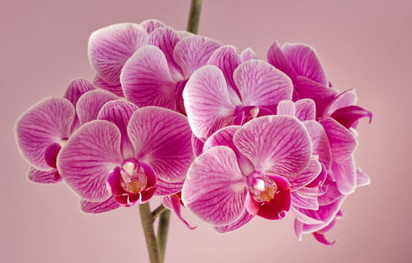 Picture flowers, background, orchids, pink Orchid