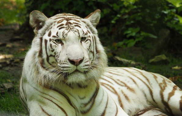 Picture tiger, Cat, white tiger
